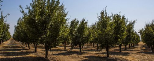 prune orchard