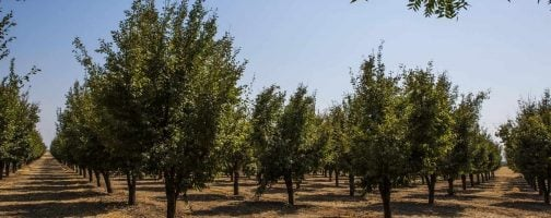 prune orchards
