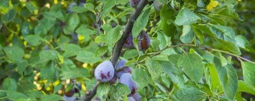 prune plums on tree