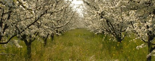 Taylor Brothers Farms Plum Trees in Bloom