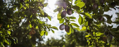 Ripe Plums on the Tree in an Orchard
