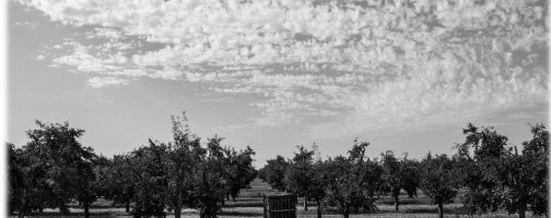 Black and White Orchards