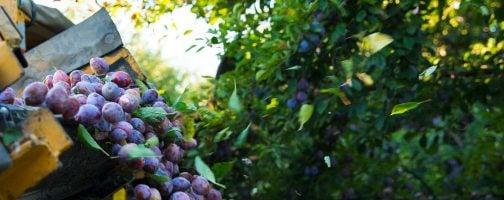Prunes being harvested