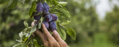 Growers hands with fresh prune plums on tree