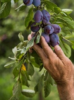 Fresh Plums being picked in the orchard