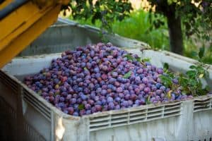 bin of prune plums