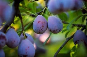 prune plums on tree