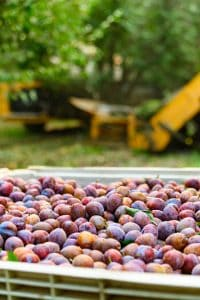 Prunes at harvest