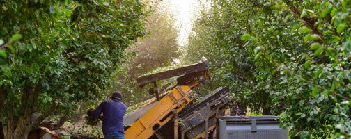 prune harvest in orchard